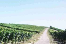 Wine Town Ochsenfurt: Vineyards and Wine Festivals